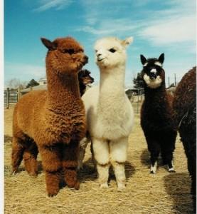 baby-llamas